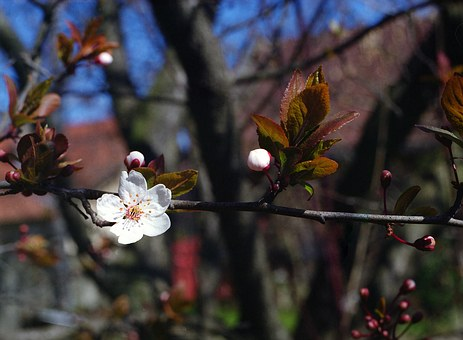 Flower, Plum, Spring, Bloom, Growth, Nature, Blossom