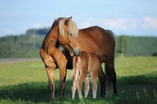 Horse, Mare, Foal, Nature, Iceland Horse, Happy