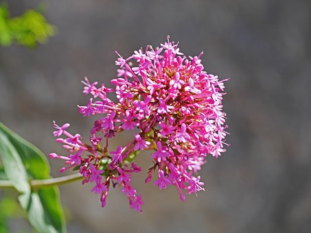 Alpine Shrub, Roadside, Heyday, Panicle, Pink-red, Lush