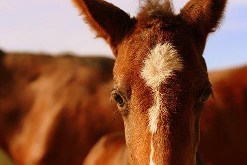 Foal, Chestnut, Horse, Equestrian, Equine, Nature