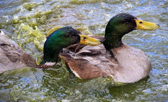 Ducks, Mallards, Drake, Water Bird, Duck Bird, Pond