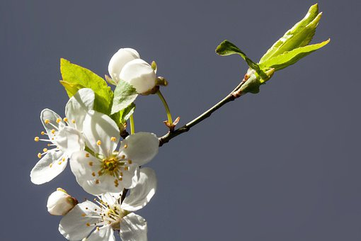 Flowers, White, Mirabelle, Prunus Domestica Subsp Syria
