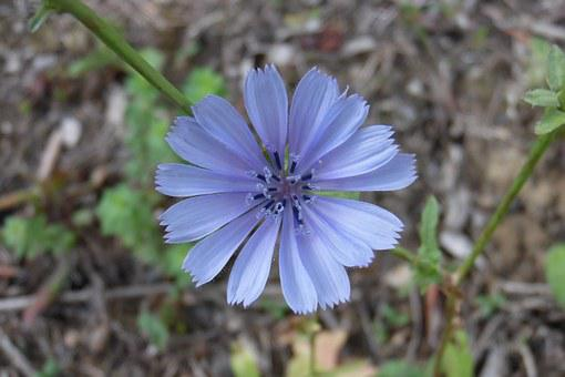 Chicory Flower, Nature, Macro, Delicate Flower