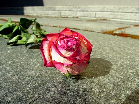 Rose, Dead, Dry, Dried Up, Old, Foliage, Red