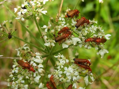 Beetle, Soldier Beetle, Insect, Wirbellos, Animal