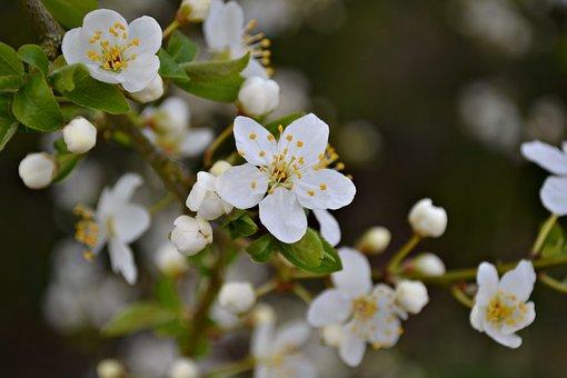 Blossoms, Plum Blossoms, White Blossoms, Spring, Nature