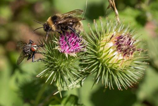 Bee, Fly, Thistle Flower, Competition, Close, Macro