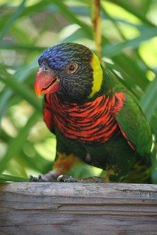 Lorikeet, Bird, Rainbow, Parrot, Colorful, Wildlife