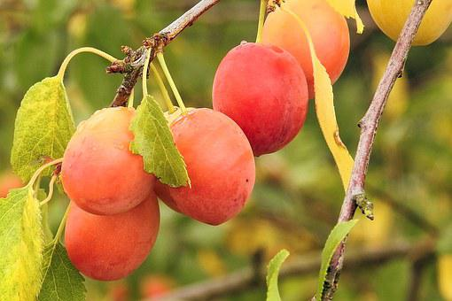 Yellow Plums, Cherry Plum, Fruit, Branch, Orchard
