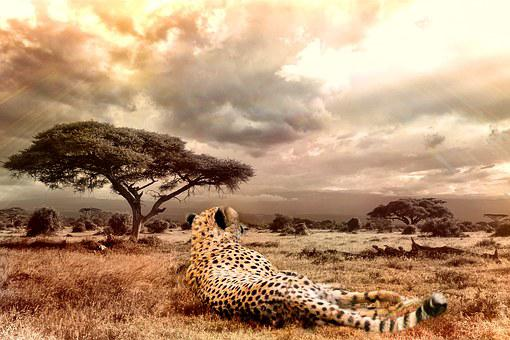 Cheetah, Big Cat, Wildlife, Wild Animal, Cat, Africa