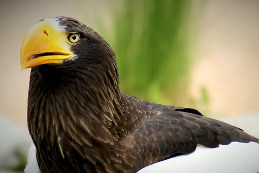 White Tailed Eagle, Bird, Adler, Raptor, Animal, Nature