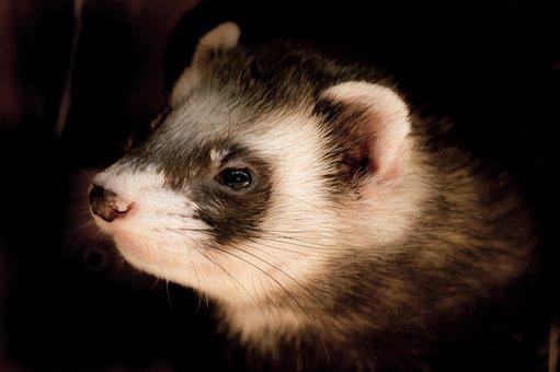 Animals, Animal Portrait, Ferret, Animal Welfare