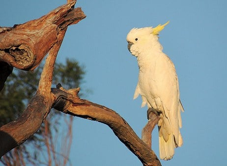 Cockatoo, Bird, Australian Native, Sulphur-crested