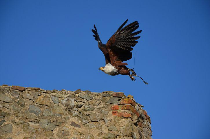 Bald Eagles, Adler, Bird Of Prey, Raptor, Bird, Animal