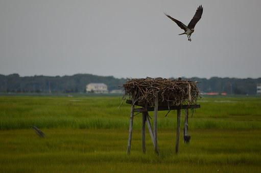 Osprey, First Flight, Bird, Fledgling, Flight, Flying