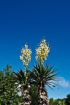 Yucca, Palm, Blossom, Bloom, Flora, Plant, Lilies