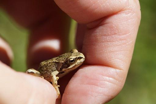 Frog, Toad, Small, Amphibians, Animal, Disguised, Brown