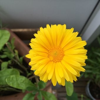 Calendula Officinalis, Garden, Flower, Marigolds
