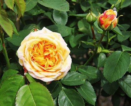 Rose, Bloom And Bud, Shrub Rose, Filled Rose, Cream