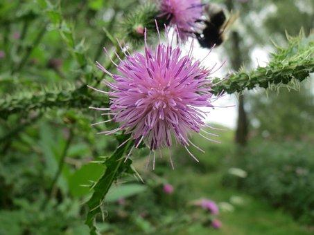Thistle, Nature, Flower, Bloom, Spines, Purple