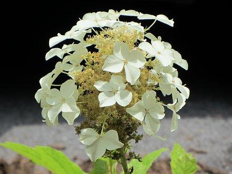 Hydrangea, White Petals, Western Nc, Flower, White