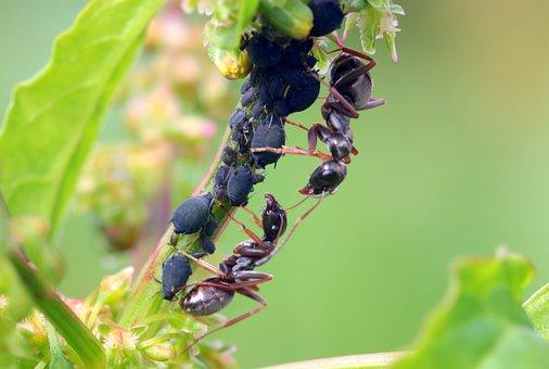 Ants, Formicidae, Garden Ants, Lasius, Black Ants
