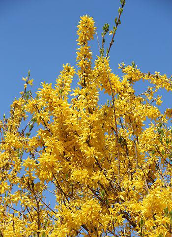 Forsythienbusch, In Bloom, Early Driving, Time Of Year
