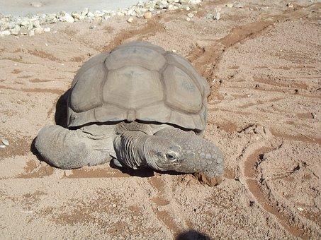 Aldabra Tortoise, Reptile, Giant, Testudinidae