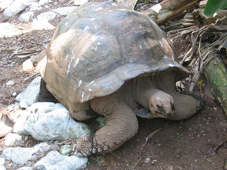 Turtle, Giant Tortoise, Tortoise, Panzer, Armored