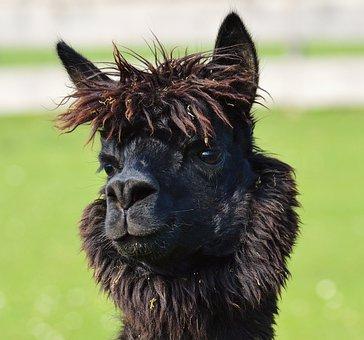 Lama, Head, Black, Animals, Cute, Good Aiderbichl
