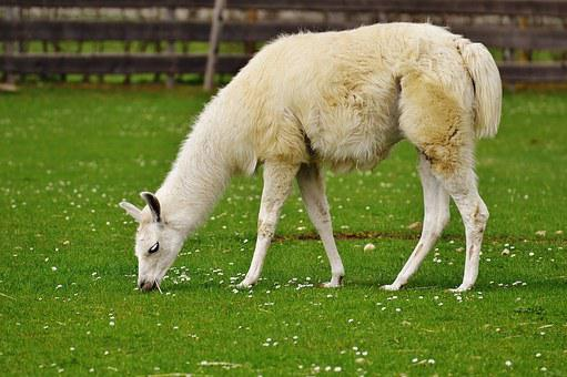 Lama, White, Animal, Cute, Good Aiderbichl, Sanctuary