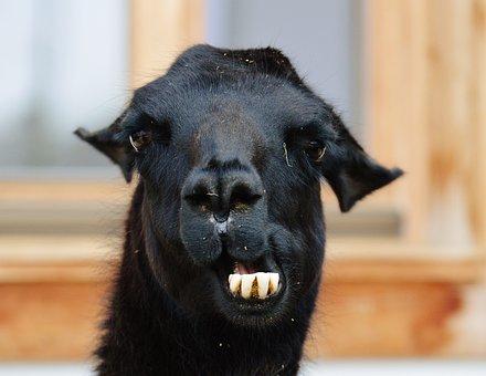 Lama, Black, Animals, Cute, Good Aiderbichl, Sanctuary