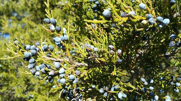 Red Cedar, Juniperus Virginiana, Island Beach