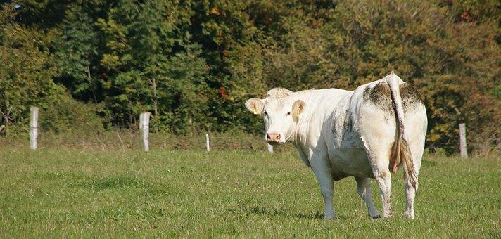 Cow, Animal, Cattle, Pasture, Landscape, Graze