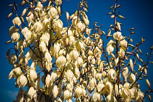 Yucca, Palm, Blossom, Bloom, Flora, Plant, Lilies