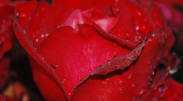 Roses, Flower, Nature, Macro, Pink, Rose, Free Photos