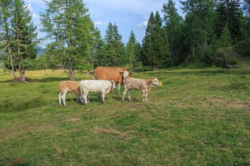 Cattle, Cows, Alm, Cow, Animal, Pasture, Milk Cow