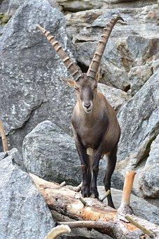 Capricorn, Alpine, Climb, Mountains, Alpine Ibex
