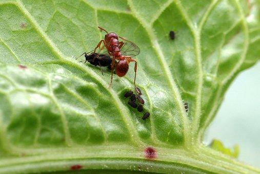 Red Garden Ant, Myrmica Rubra, Arbeiterinportrait
