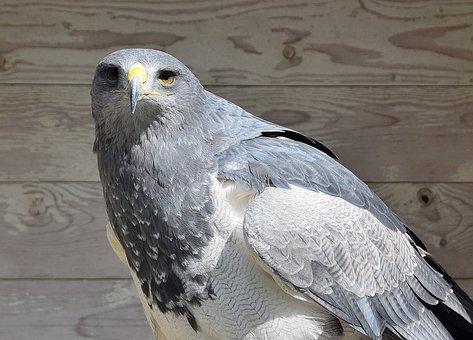 Adler, Raptor, Bird Of Prey, Bird, Nature
