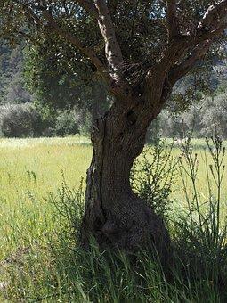 Tribe, Gnarled, Old, Olive Tree, Olive Plantation