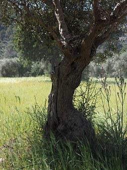 Tribe, Gnarled, Old, Olive Tree, Olive Plantation