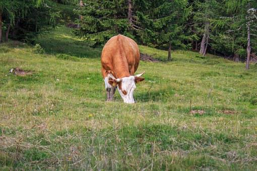 Cow, Beef, Cattle, Animal, Cows, Pasture, Milk Cow