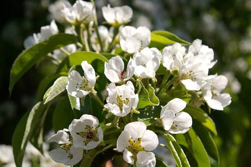 Spring, Petals, Tree, Flowers, Pear Tree, White Flowers