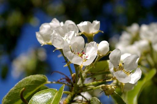 Spring, Petals, Tree, Flowers, Pear Tree, White Flowers