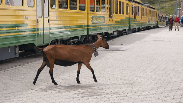 Goat, Rack Railway, Jungfrau Railway, Platform, Train