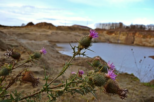 Nature, Thistles, Arable Thistles, Purple Thistles