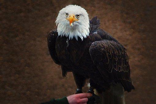 White Tailed Eagle, Falconry, Raptor, Bald Eagle