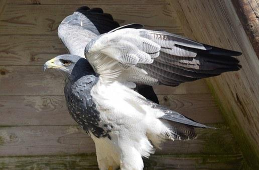Adler, Bird, Raptor, Bird Of Prey, Wing, Fly