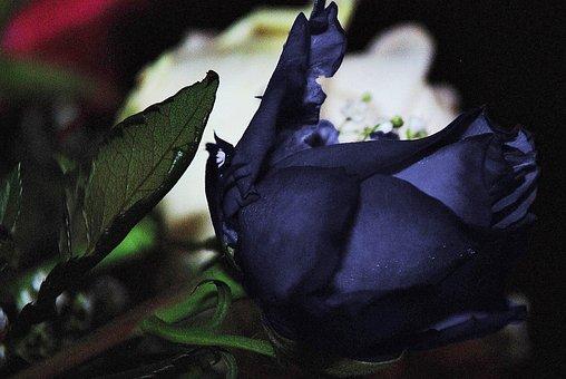 Roses, Flower, Nature, Macro, Rose, Free Photos, Green